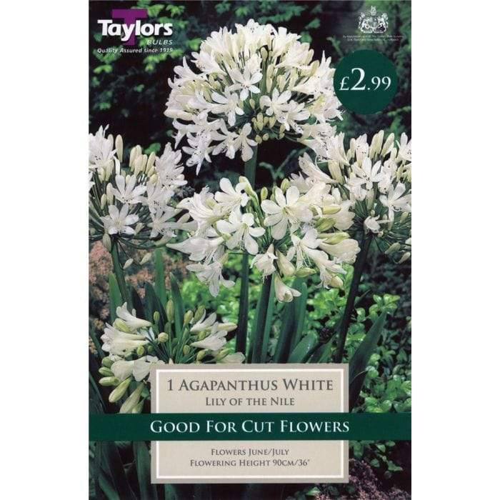 Taylors Bulbs Agapanthus Taylors 1 x Agapanthus Lily of The Nile Bulbs
