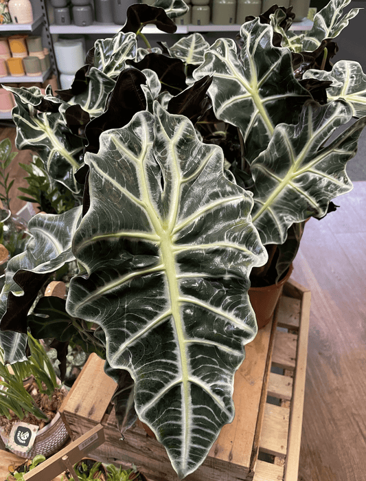 Windlebridge Garden Nursery  House plants Alocasia Polly