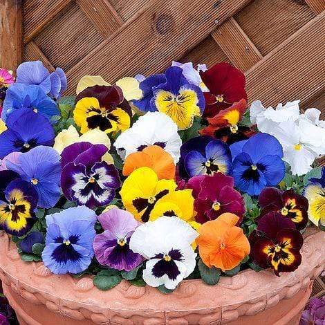 Windlebridge Garden Nursery  Pansies 6 Pack Of Pansies