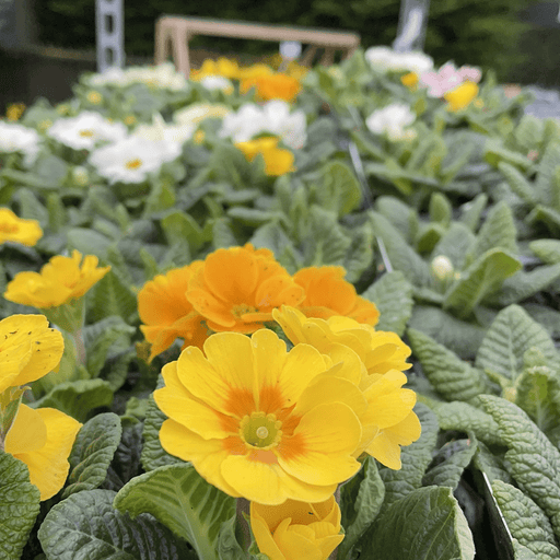 Windlebridge Garden Nursery  Primrose 4 pack of primroses