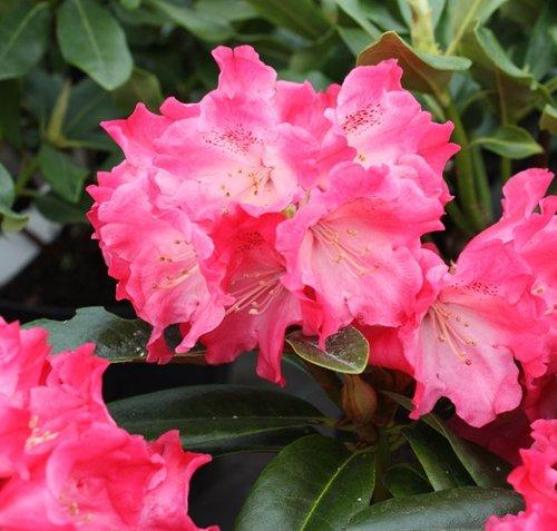 Windlebridge Garden Nursery  Rhododendron Rhododendron Morning Red 3L Pot