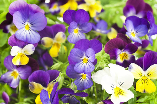 Windlebridge Garden Nursery  violas 6 Pack Of Violas