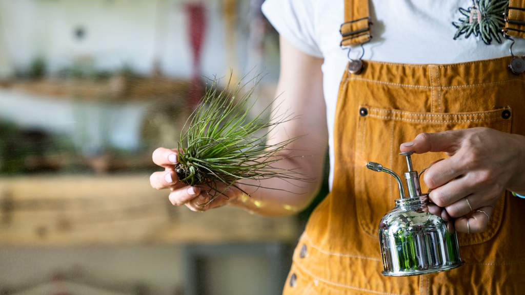 air plant watering tips and care