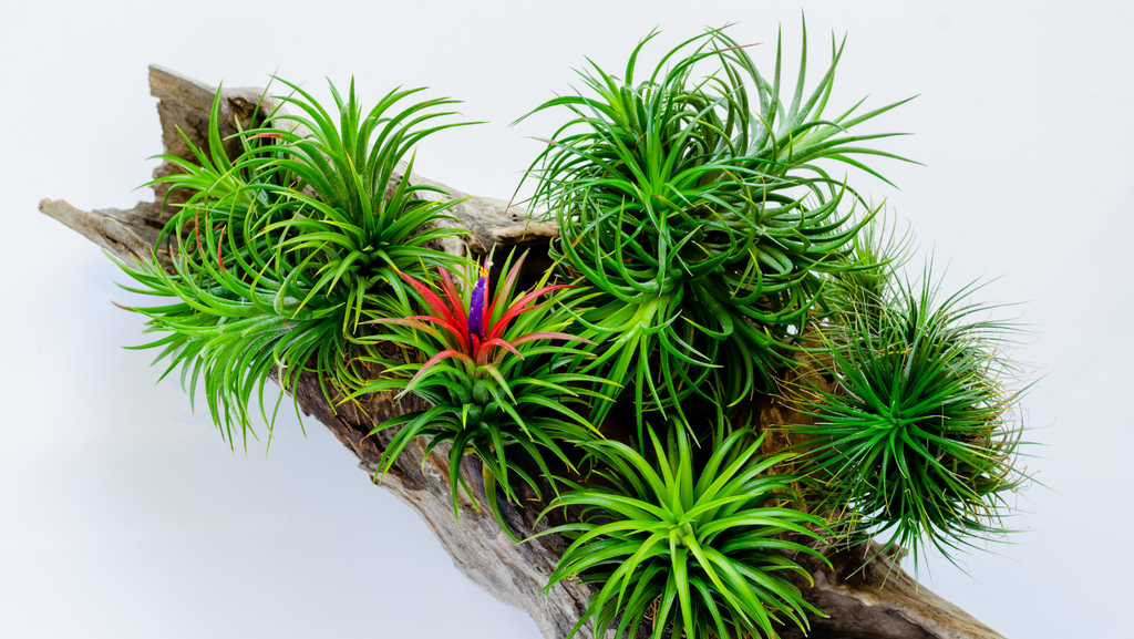 blooming air plant care