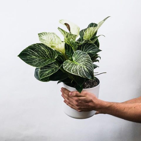 philodendron birkin house plant giveaway