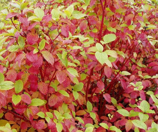 Red Barked Dogwood (Cornus alba)