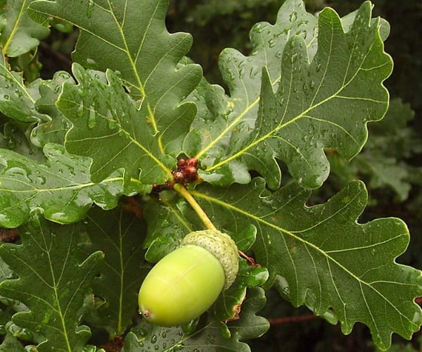 Common or English Oak (Quercus robur)