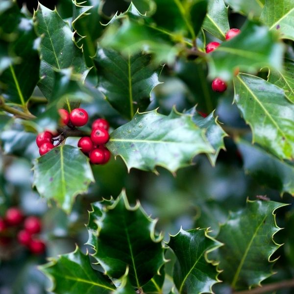Fresh Holly with Berries
