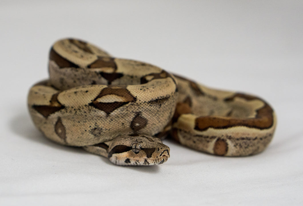 Hypo Jungle Red Tail Boa (Female) - Wild Things Exotic Pets