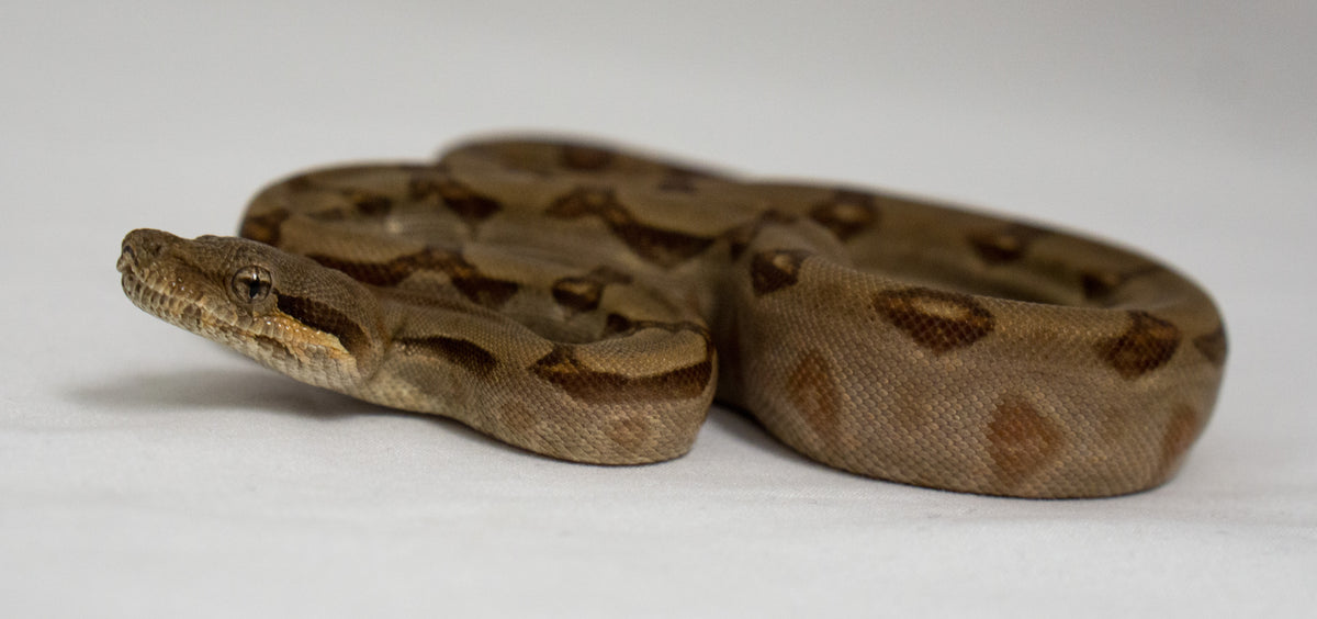 Hypo T+ Burke Red Tail Boa (Male) - Wild Things Exotic Pets