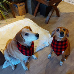 Two medium sized brown dogs wearing red and black bandanas around their necks sitting and looking up towards the camera.