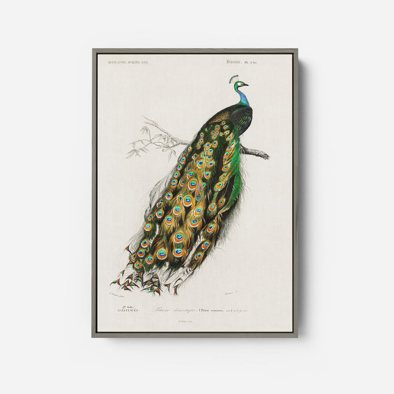 Indian peafowl by Charles Dessalines D' Orbigny