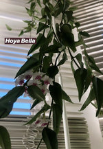 Load image into Gallery viewer, Hoya Bella