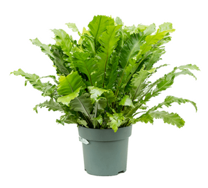 Asplenium Green Miracle