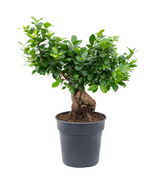 Load image into Gallery viewer, Ficus Microcarpa Ginseng