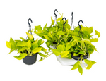 Load image into Gallery viewer, Scindapsus Golden Pothos