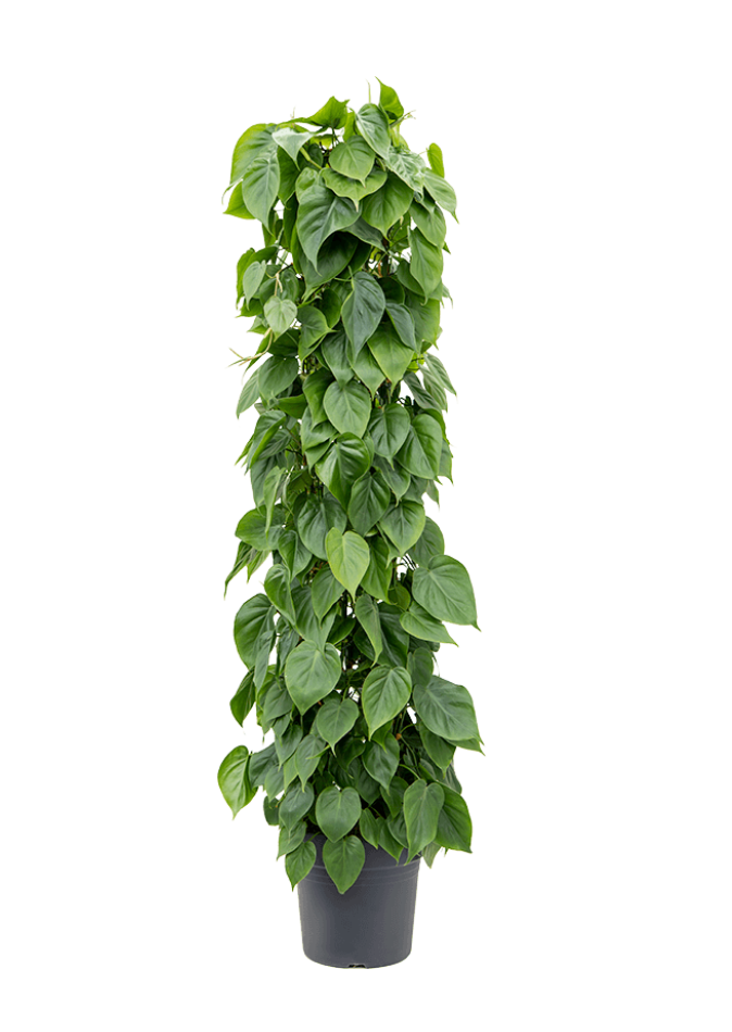 Philodendron Scandens Column