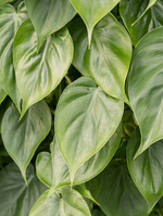 Load image into Gallery viewer, Philodendron Scandens