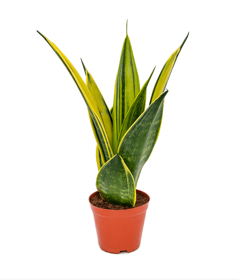 Sanseveria Gold Flame