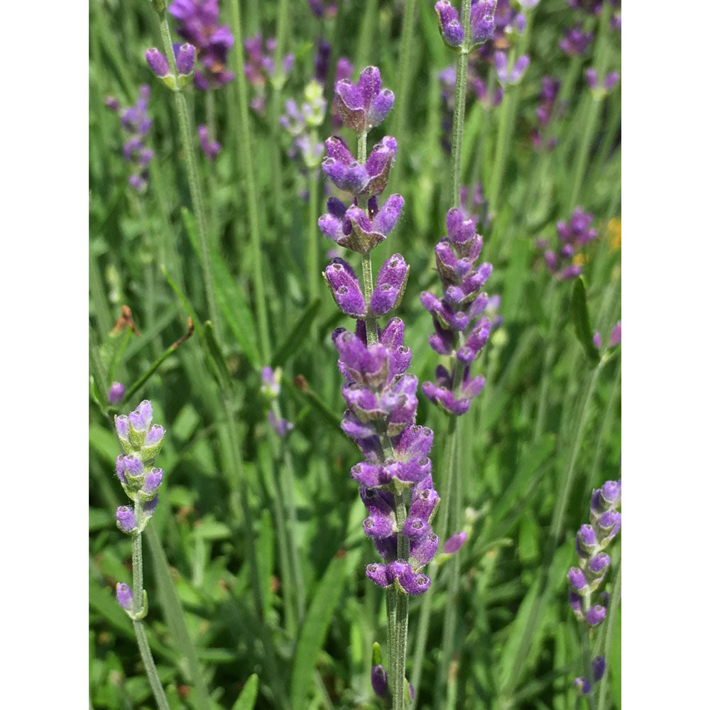 "Lavanda Angustifolia ""PACIFIC BLUE"""