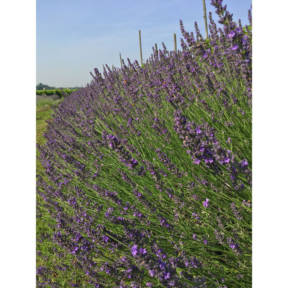 "Lavanda Ibrida x Intermedia ""IMPRESS PURPLE"""