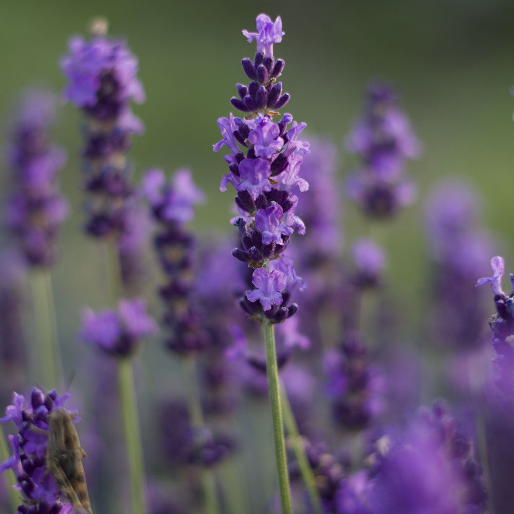 "Lavanda Angustifolia ""BLEUE VELOURS PAUL """