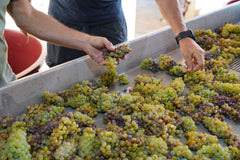 Processing the Chardonnay