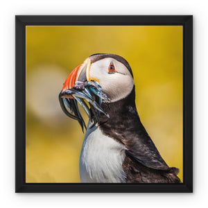 Mouthful - Atlantic Puffin, Staple Island Framed Canvas - Sydspicsprints