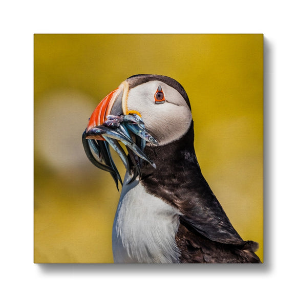 Mouthful - Atlantic Puffin, Staple Island Canvas - Sydspicsprints