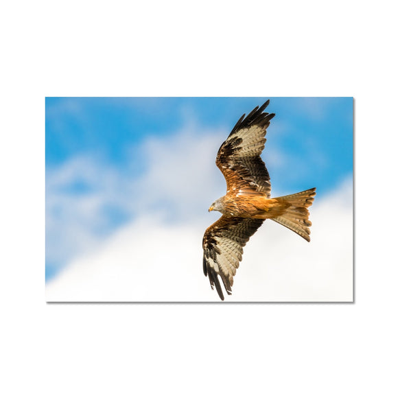 Soaring High - Red Kite Fine Art Print - Sydspicsprints