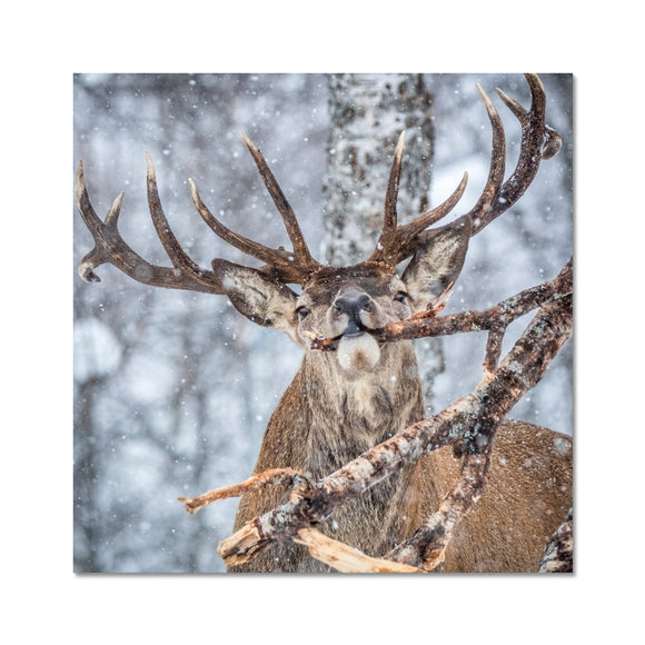 Snowy Stag - Red Deer, Norway Fine Art Print