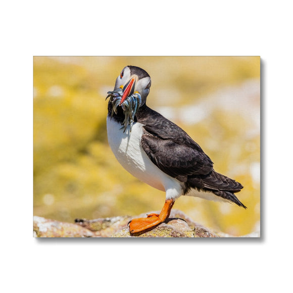 You want one - Atlantic Puffin with Sandeels Canvas - Sydspicsprints