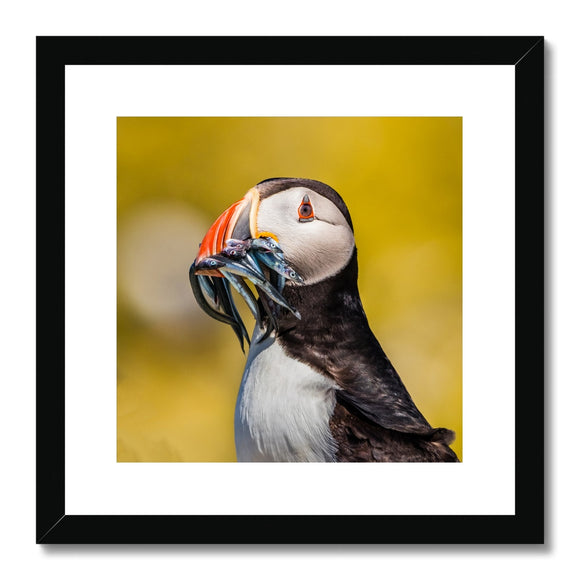 Mouthful - Atlantic Puffin, Staple Island Framed & Mounted Print - Sydspicsprints