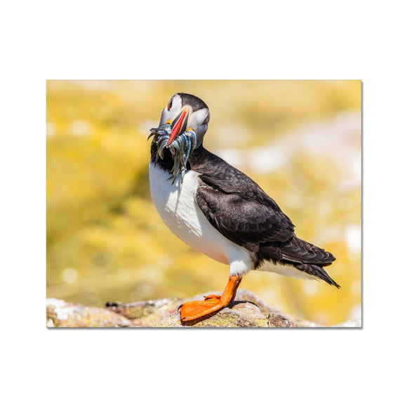 You want one - Atlantic Puffin with Sandeels Fine Art Print - Sydspicsprints