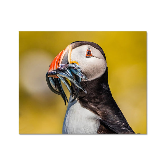 Mouthful - Atlantic Puffin, Staple Island Fine Art Print - Sydspicsprints