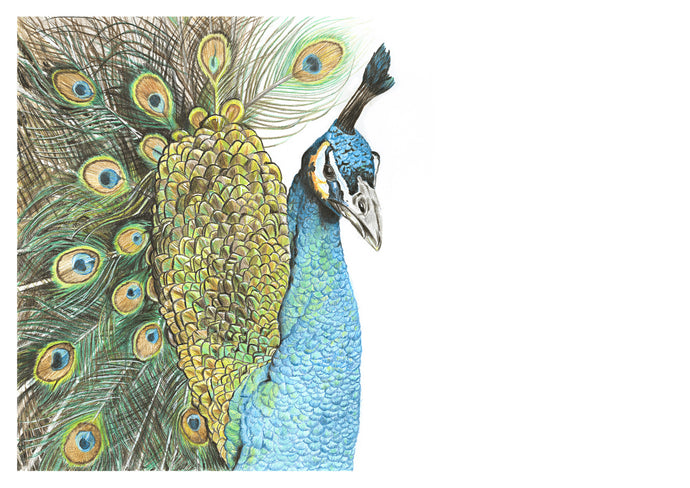Original coloured pencil peacock drawing by Judy Century. Elegant and proud, the peacock is decorative and has a high level of detail.