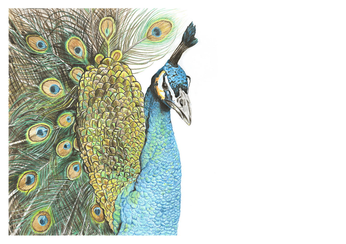 Art print of beautiful original coloured pencil peacock drawing by Judy Century. Elegant and proud, the peacock is decorative and has a high level of detail.