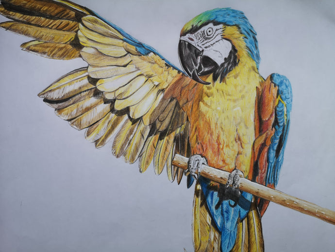 Art Print of original coloured pencil drawing of a macaw parrot, stretching out his large wings while perched on a branch. Elegant artwork featuring yellow, blue, black and brown by Judy Century Art.