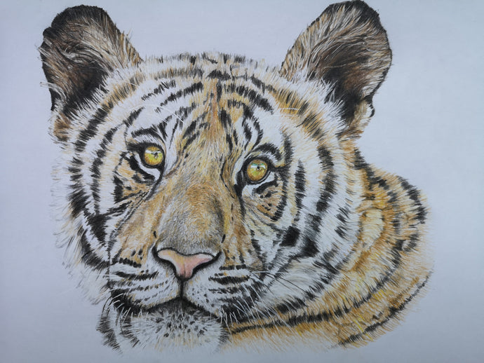 Art print of coloured pencil tiger drawing by Judy Century Art. Brown, black and white soft fur with endearing eyes.