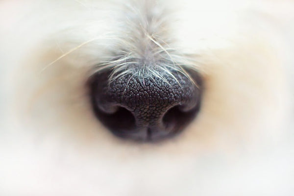 How Dogs Smell