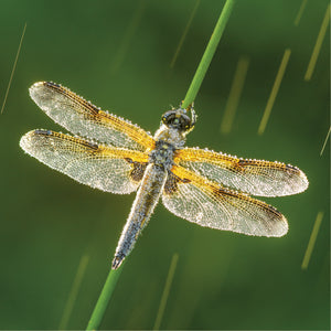 Four-spotted Chaser Card