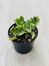 Load image into Gallery viewer, Variegated Jade, Crassula Ovata 4""