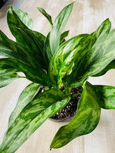 Load image into Gallery viewer, Aglaonema Chinese Evergreen 6""