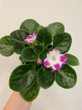 Load image into Gallery viewer, African violet 4""