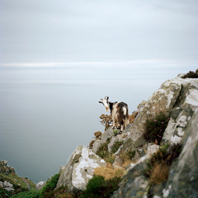 Lynton Goat Devon UK
