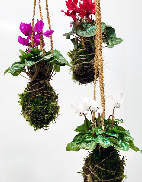 Mini Cyclamen Kokedama Trio