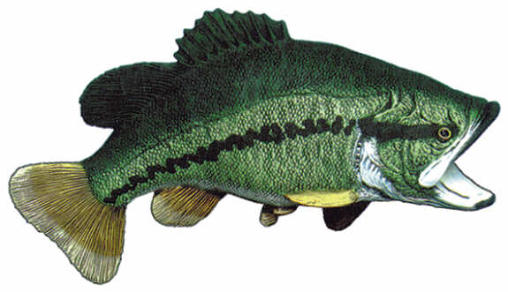 #2141 Large Mouth Bass Wall Mount  11 1-2