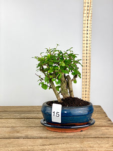 Fukien Tea Tree Bonsai 'Forest' (Medium)