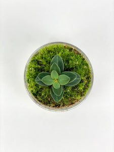 Planted Egg (Peperomia Red Log)