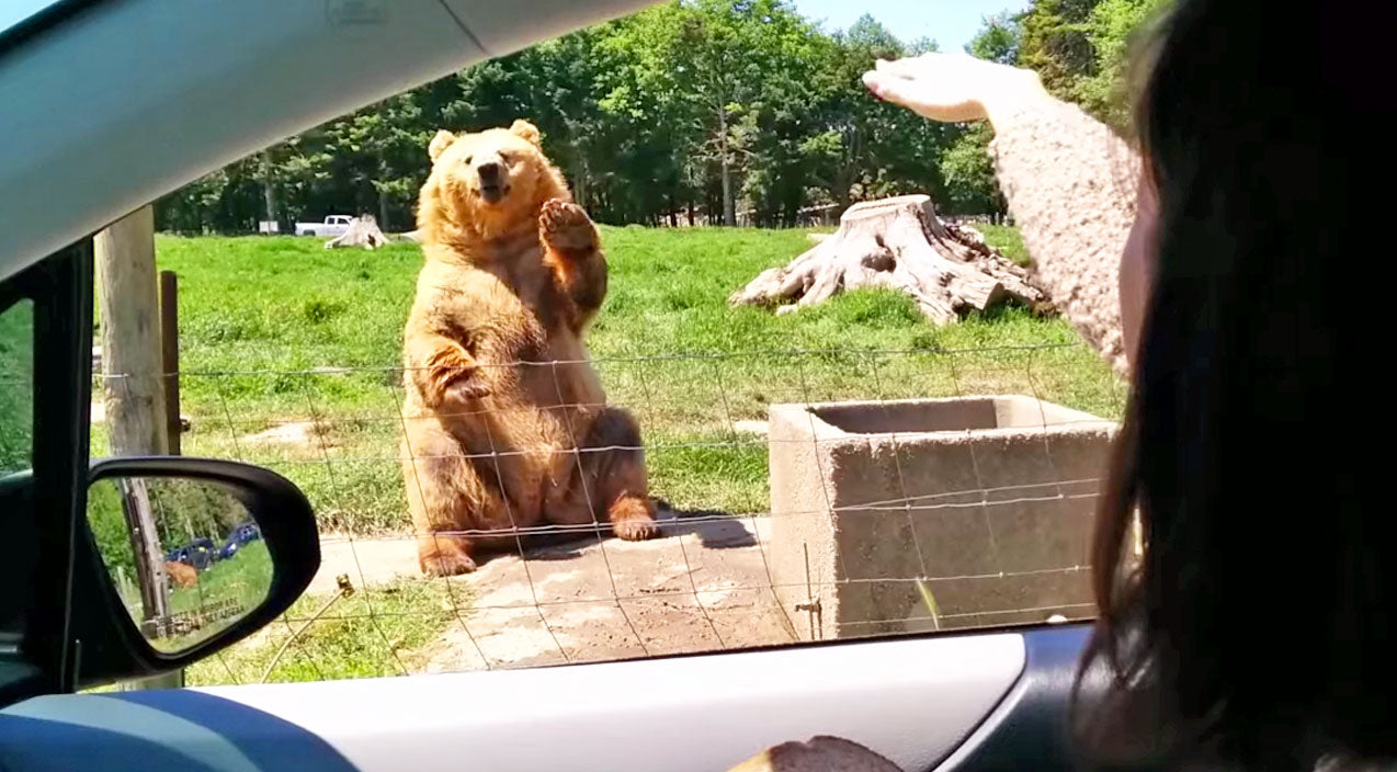 Animals Songs | Just Wait Until You See What Happens After This Bear Gives Humans A Wave | Country Music Videos